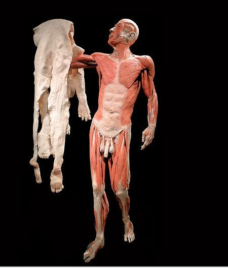 """Think this is from the famed """"Bodies"""" exhibit. Got to see this exhibit when it came to Hawaii. Awesome!"""