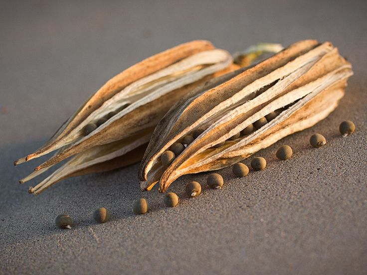 Dried okra pods and seeds ready to crack out of their natural containers. Photo by Marshall Hinsley.