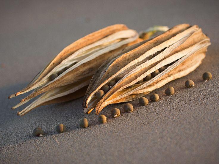 Dried okra pods with okra seeds El quimbombó, quingombó, gombo, molondrón, ocra u okra y bamia, Abelmoschus esculentus, es una fanerógama tropical de fruto comestible, originaria de África y perteneciente a la familia de las malváceas