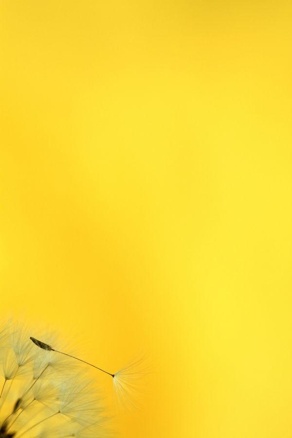 Yellow | Giallo | Jaune | Amarillo | Gul | Geel | Amarelo | イエロー | Colour | Texture | Style | Form | Dandelion