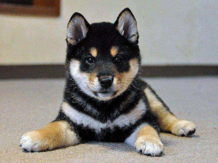 「柴犬 黒」のおすすめアイデア 25 件以上 | Pinterest