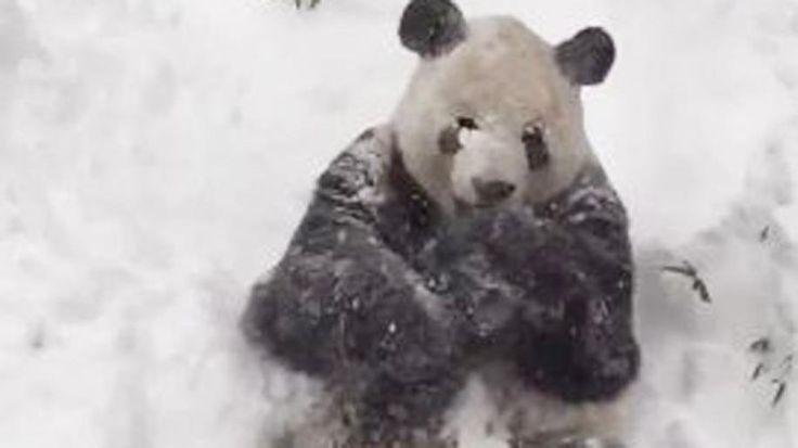 Panda bear at Smithsonian's National Zoo's adorable reaction to snow