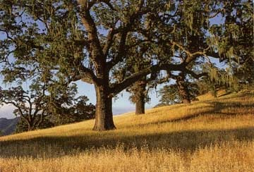 California Valley Oaks Nothing Says California Better Than This Love These Trees