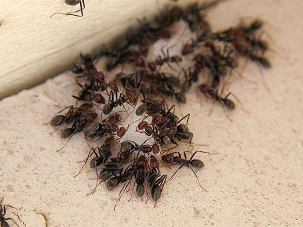 Wie Man Ameisen In Der Kuche Loswird Ungiftige Hausmittel Ameisen In Der Kuche Ameisen