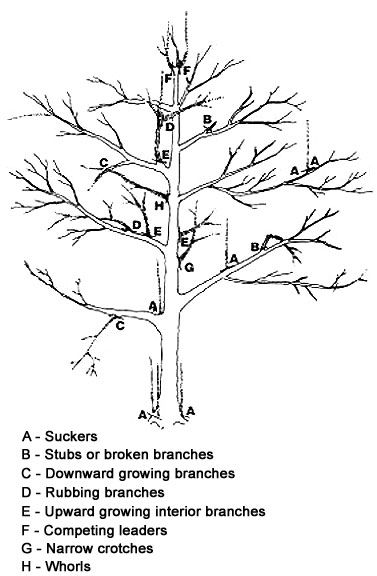 PRUNING APPLE TREES: First Winter: If there has been a lot of