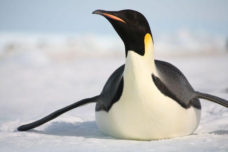 Emperor Penguin sliding on ice