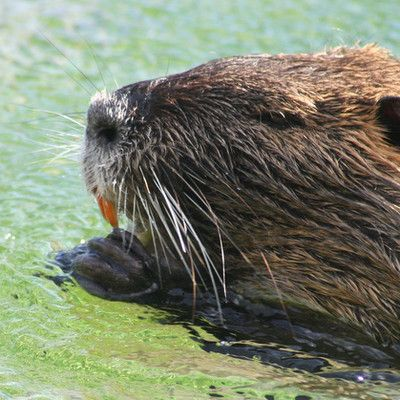 Which animal has orange teeth? Nutria! Nutria is easily recognizable due to its large orange teeth. Originally native to subtropical and temperate South America, it has since been introduced to North America, Europe, Asia, and Africa, primarily by fur ranchers.