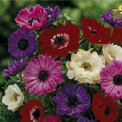 Anemona St. Brigid. Planteaza 1 bulb in martie - aprilie si vei avea anemone in aprilie - septembrie.