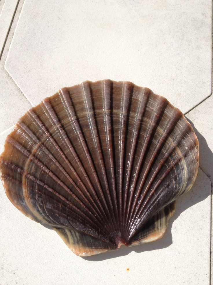 Flat Shell from Ohope Beach
