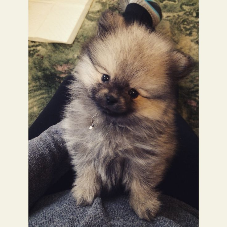 8 Week Old Wolf Sable Pomeranian - Buddy