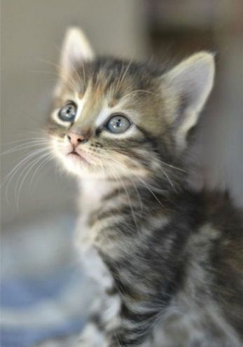 Adorable Cute Grey Tabby Kitten Winnie!