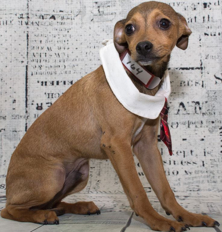 Chiweenie dog for Adoption in Denver, CO. ADN-492155 on PuppyFinder.com Gender: Male. Age: Baby