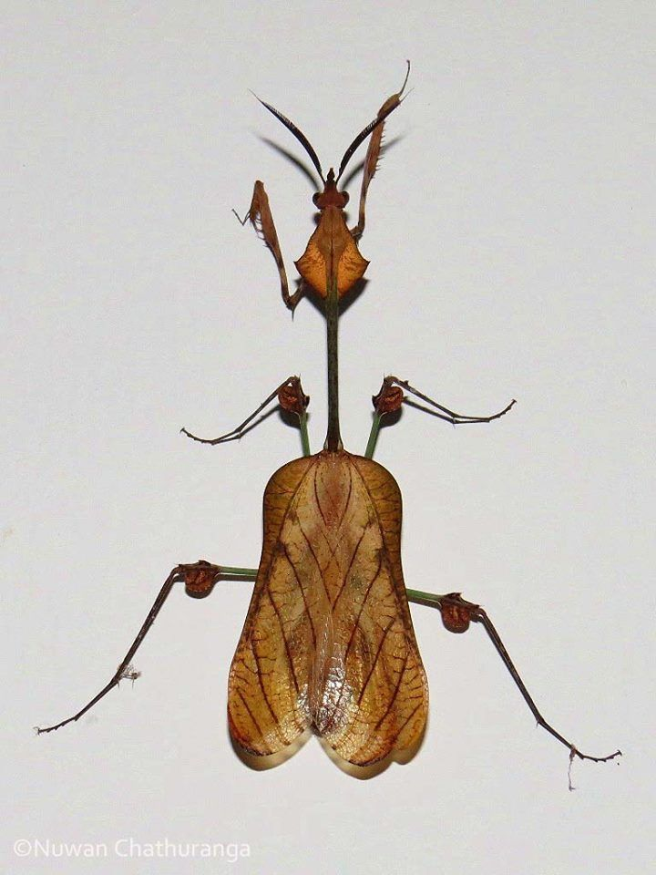 nice Wandering violin mantis in Sri Lanka. By Nuwan Chathuranga Via Project Noah on f...