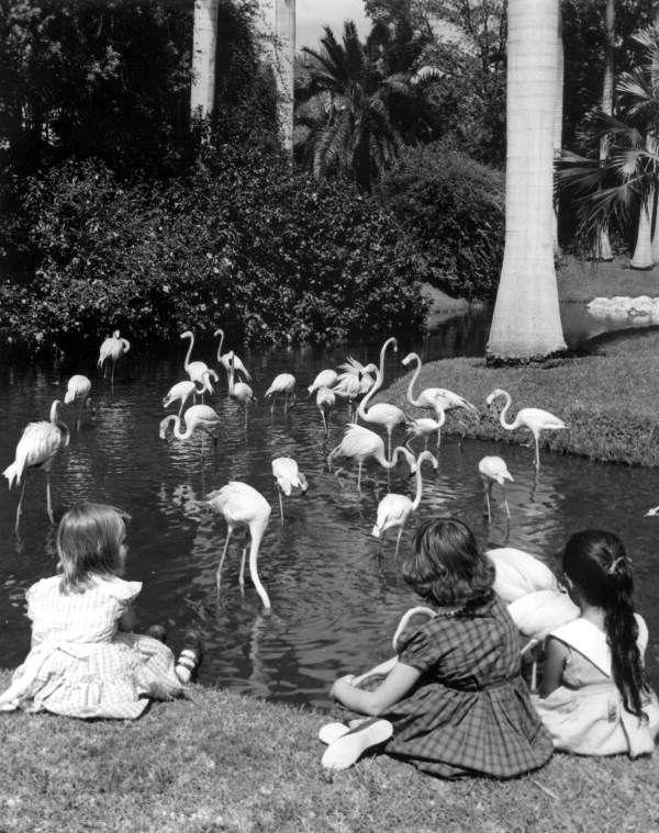 Florida Memory - Young girls watching flamingos at Sarasota Jungle Gardens - Sarasota, Florida