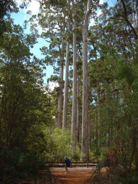 Karri Trees