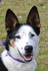 Ryder is an adoptable Collie Dog in Searcy, AR. Ryder is a 1 year old female Collie/Shepherd mix.  She has lots of energy and is a very sweet girl....