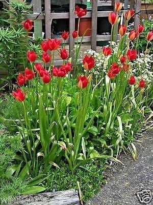 TULIP SEEDS (Tulipa sprengeri) Persistent and self-seeding.bright red ,Very Rare
