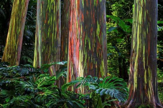 Rainbow Eucalyptus - Eucalyptus deglupta, commonly known as the rainbow eucalyptus, is the only Eucalyptus species found naturally in New Britain, New Guinea, Seram, Sulawesi and Mindanao. As the outer bark is shed annually, the inner greener bark is revealed, which then matures and turns purple, orange and maroon. -  Mark Skerbinek/Getty Image