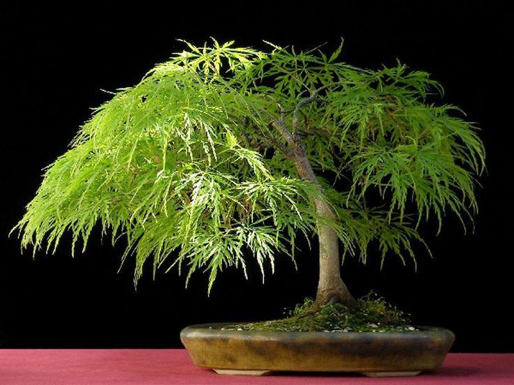Bonsai. Se parece a un japonés de hoja de encaje el Arce.