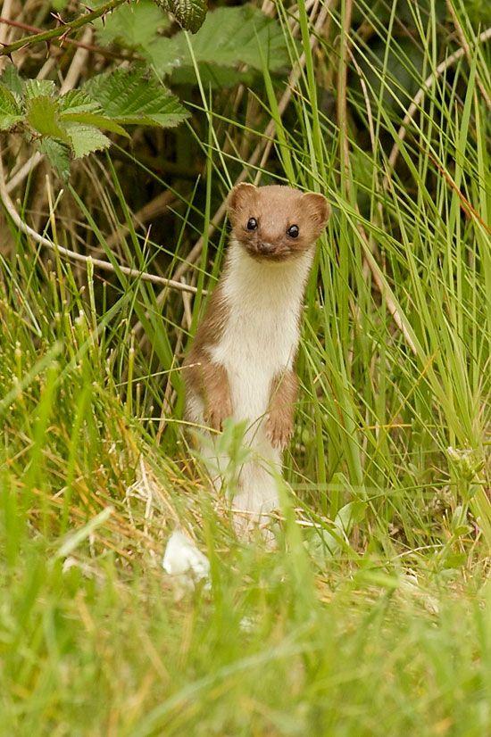 Weasel ....Springwatch 2013