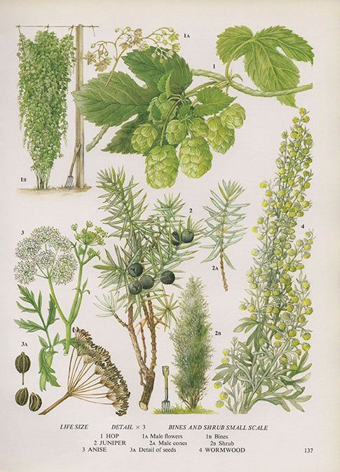 JUNIPER HOPS ANISE Vintage Botanical Print by VintageInclination