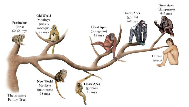 evolution primate intelligence Primate cognition is the study of the intellectual and behavioral skills of non-human  who are of most interest in the study of the evolution of human social.