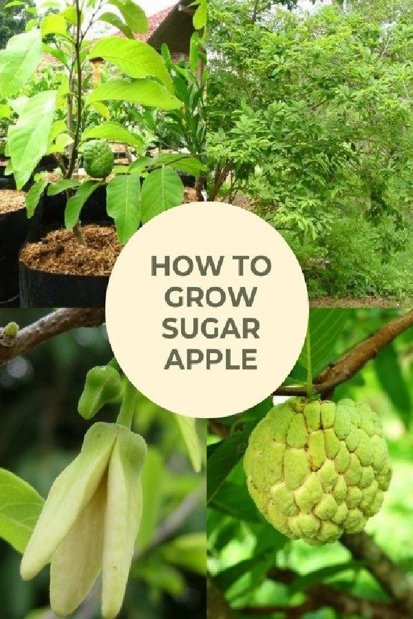 How To Grow Sugar Apple The Best Steps For A Heavy Yield Apple Plant Sugar Apples Apple Tree Care