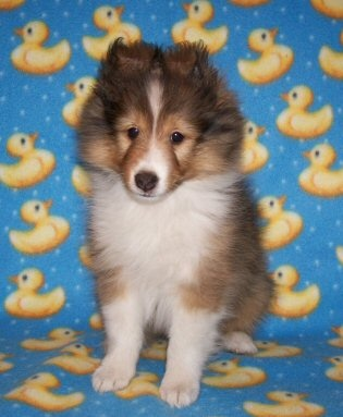 Sheltie puppies available in Texas at Stone Oak Shelties