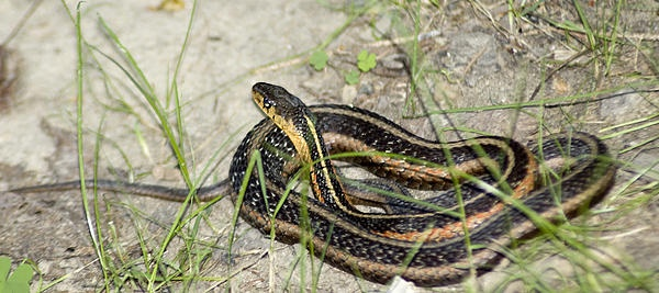 Enjoying the Sun-Garter Snake.This guy sat in the same spot sunning himself for a week straight.