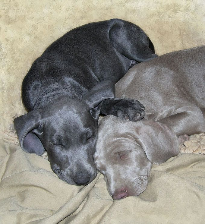 blue and gray Weimaraner pups. Do they get any cuter ?