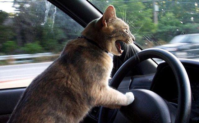 ja #gatos al volante