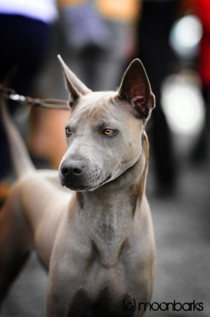 Beautiful Thai ridgeback blue girl at International dog show Mlada Boleslav 2011     Rare dog breeds...  Thai Ridgeback Dogs,  learn more http://doggytidbits.blogspot.com/