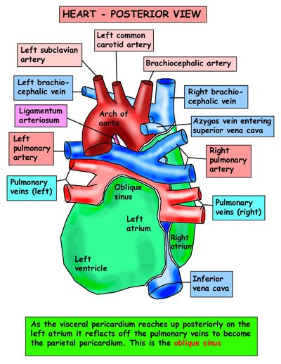 Heart anatomy posterior view ccuart Choice Image