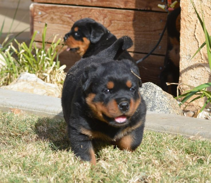 German Rottweiler Puppies For Sale - Von Ruelmann Rottweilers inc : Other