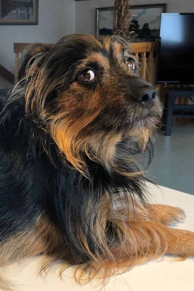 Eddie Our Little Fur Face Office Dog Is A Jorkie A Cross