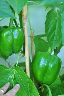 Hortas organicas e alimentacao saudavel.: horta caseira