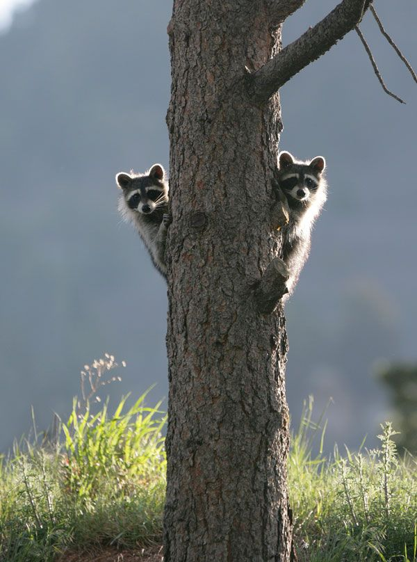 Curious racoons: Small Town, Stuffed Chicken, Gardens Trees, Baby Raccoons, Peekaboo, Trees Stumps, Abandoned Houses, Peek A Boo, Animal