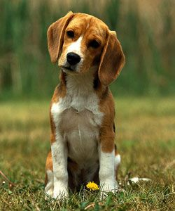 Beagle puppy, so cute and so smart. Happy Healthy Well Trained Puppy – How to Guide