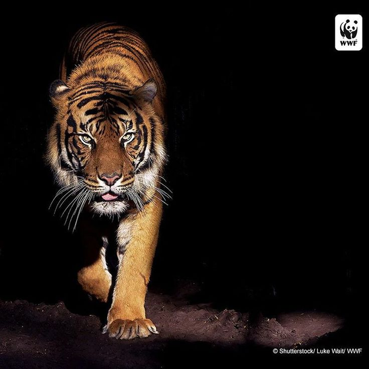 A new report by WWF reveals that World Heritage sites are especially vulnerable to illegal harvesting of species listed by CITES (the Convention on International Trade in Endangered Species), including tigers and African elephants. The global wild tiger population has increased in recent years, but in some areas they are still being killed at an unsustainable rate. The Tropical Rainforest Heritage of Sumatra is home to a number of endangered species, including the critically endangered…