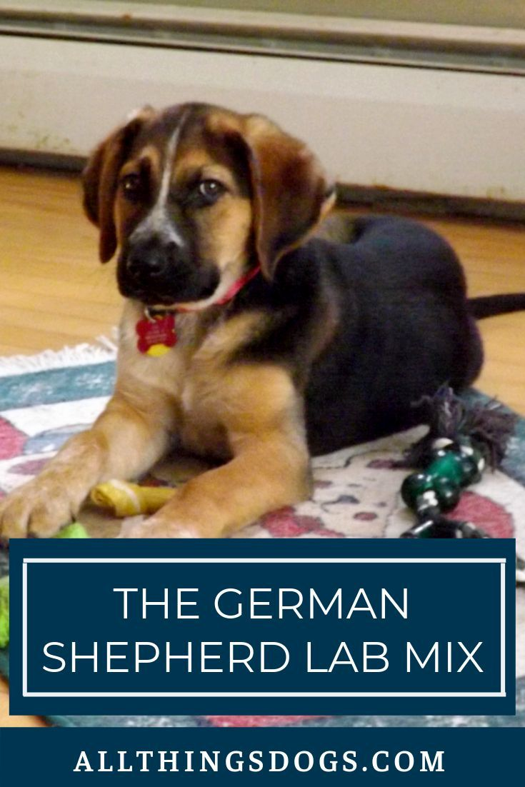 Boxer Mix German Shepherd Pets In 2020 German Shepherd Lab Mix Lab Mix Puppies Boxer Mix Puppies