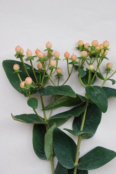 Peach or Pink hypericum berries (Desinger's choice)