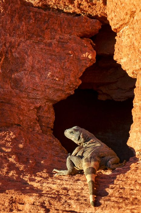 Chuckwalla - While I was roaming around the Valley of Fire State Park in Nevada, trying to get a new perspective on Fire Wave, I ran across this rather large lizard!  I had no idea what it was when I photographed her, but she's a Chuckwalla! I've never heard of a Chuckwalla before.  http://annemckinnell.com/2014/05/04/chuckwalla/ #photo #travel #blog #Nevada #lizard