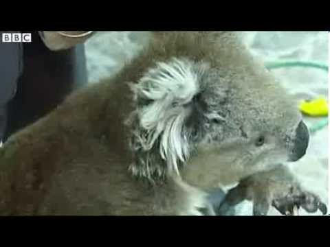 BBC News Koalas rescued from rabbit trap in Melbourne