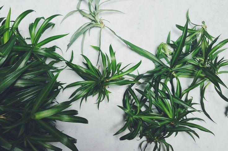 propagating spider plant!