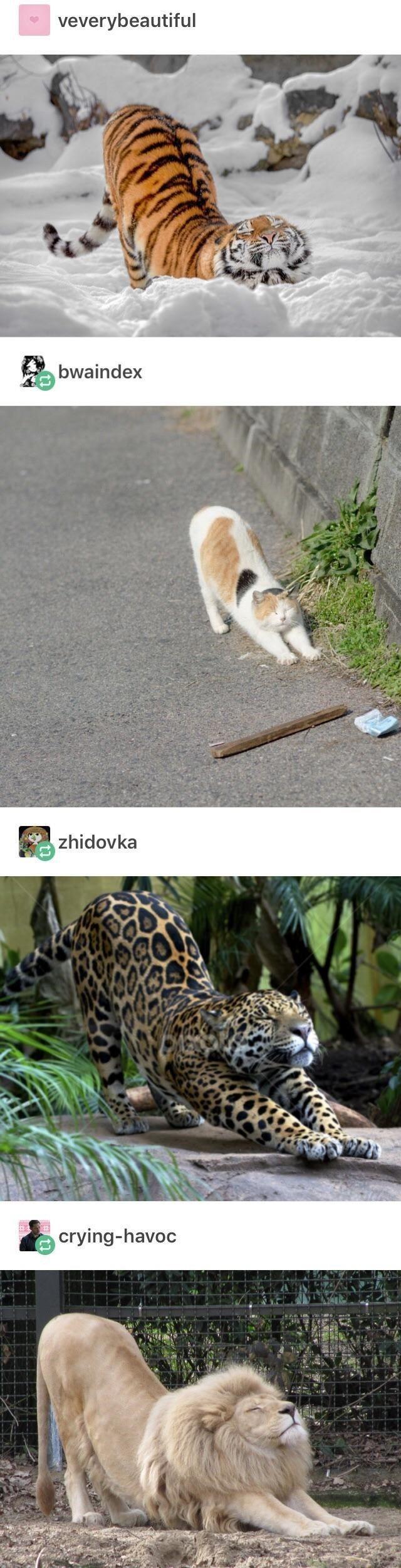 Streaching #animals # streaching # funny animals # big cats # animal photos