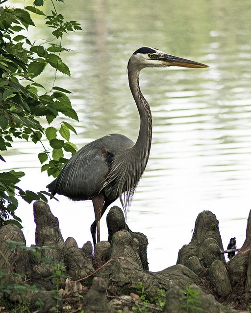 Great Blue Heron ~ Swan Lake, Sumter, SC--looks just like birds in big bend in river in FL---gorgeous