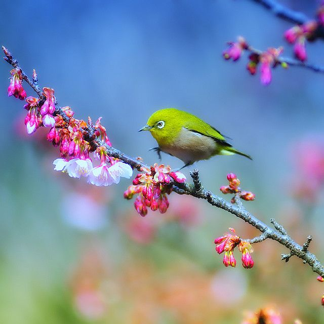 Japanese White Eye : Spring Photography, Little Birds, Birds Of Paradis, Green, Nature Photography, Blossoms Trees, White Eye, Flower, Japan White