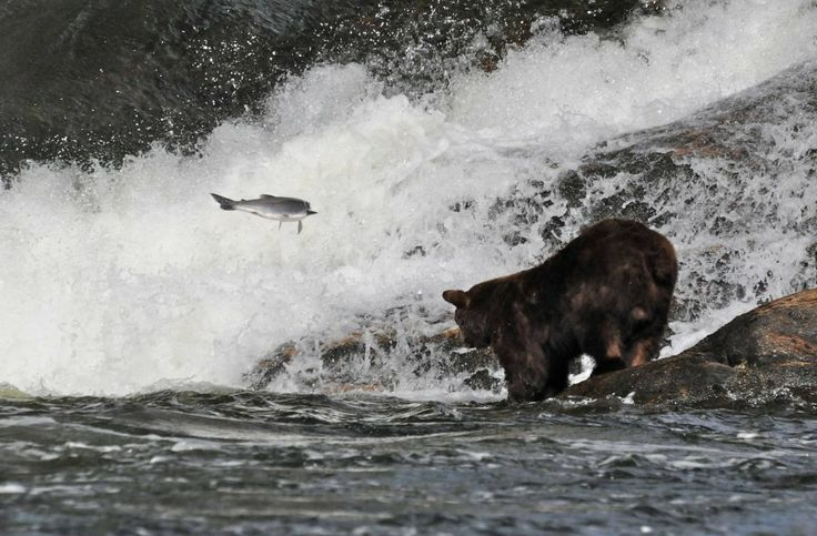 Grizzly fishing in the Alice Arm area north of Terrace BC, one of the best Grizzly Bear habitat on the coast of BC
