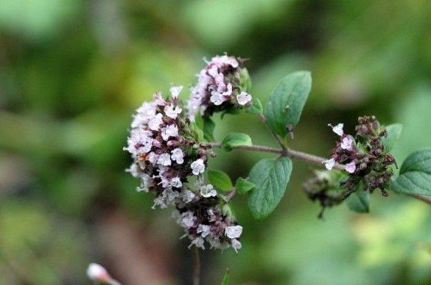 Hera.bg - Майорана - непозната билка и подправка с ароматерапевтичен ефект