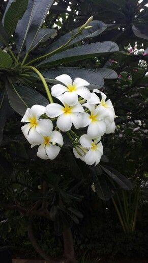 Franchipane bloem Indonesia Bali